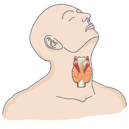 Location of Thyroid