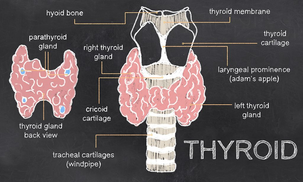 Thyroid Anatomy on Blackboard