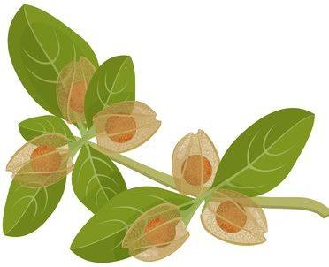 ashwagandha ayurvedic herb isolated on white. withania somnifera.