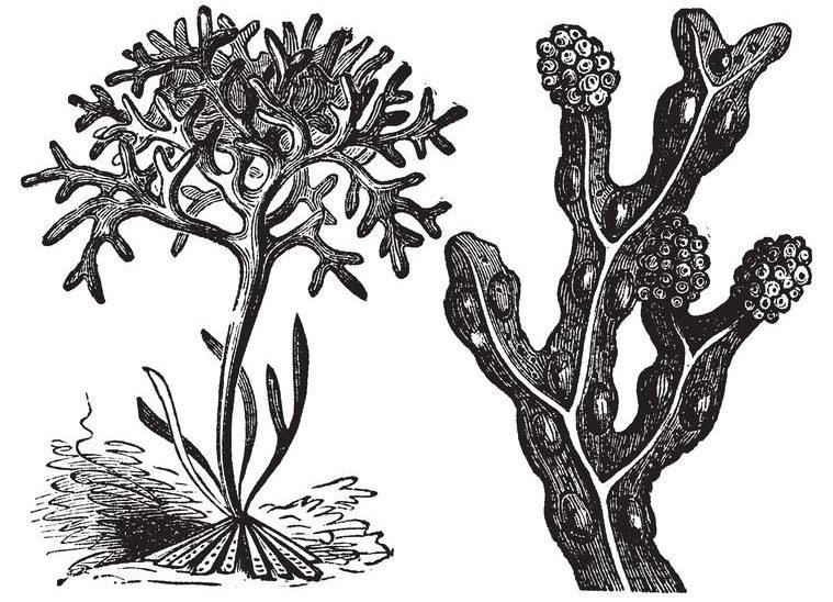bladderwrack engraving, old antique illustration