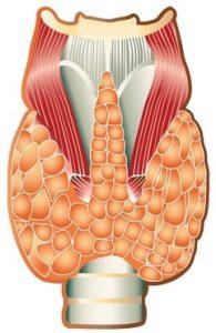 anatomy of the human thyroid