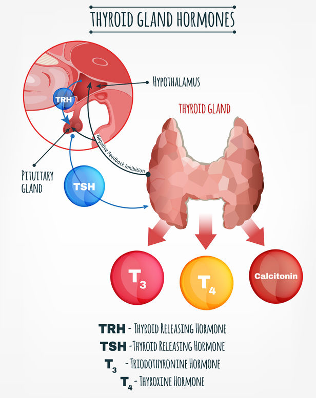thyroid hormones vector image. human endocrine system. anatomical infographic.