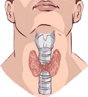 location of thyroid in male