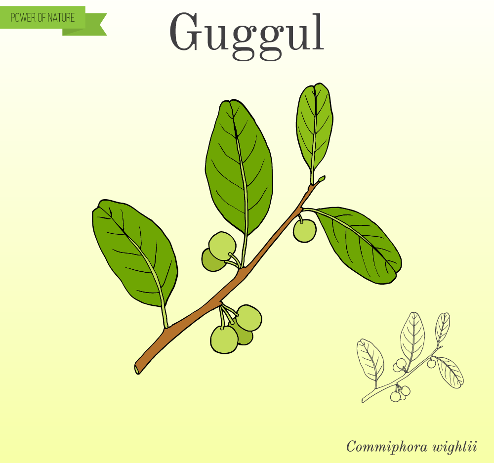 sketch of guggul herb on background