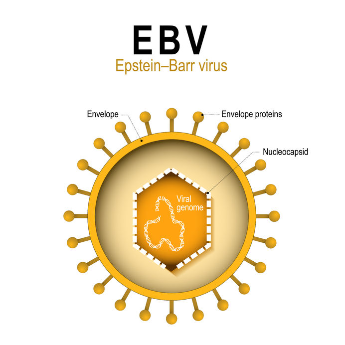 epstein–barr virus (ebv). human herpesvirus 4 (hhv). diagram of the structure of human herpes virus. the cause of infectious mononucleosis and cancer.